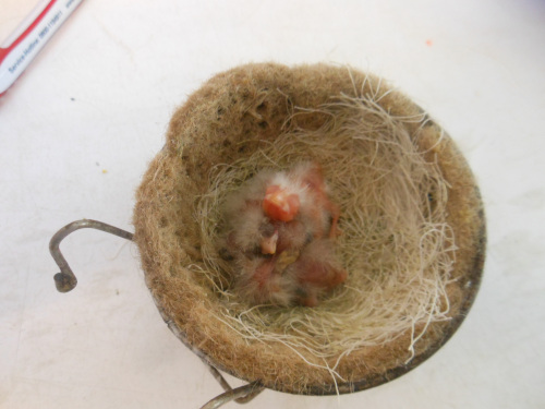 Jungvögel, ca. 2 Tage alt